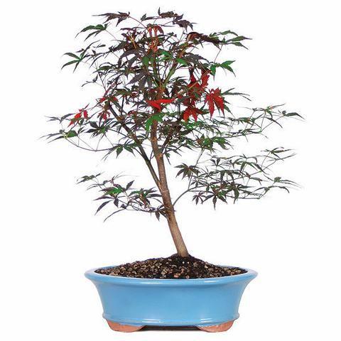 Japense Red Maple Bonsai Tree For Sale