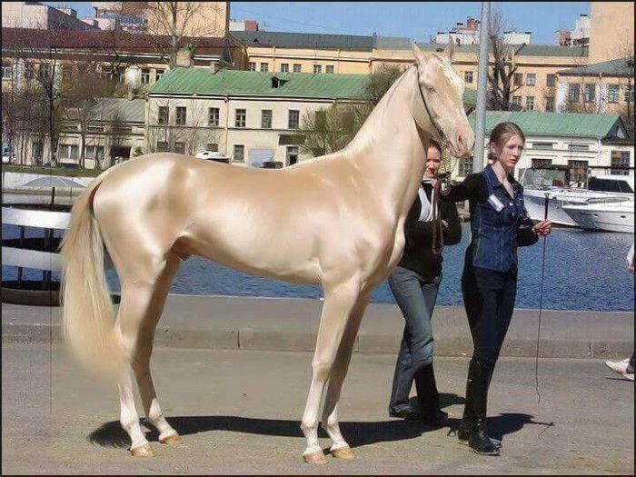 アハルテケは、国章にあしらわれているトルクメニスタン原産の馬の品種。スピードと長距離の持久力で知られる「黄金の馬」は、過酷な気候に適応し、現存する最古の馬種のひとつと考えられている。