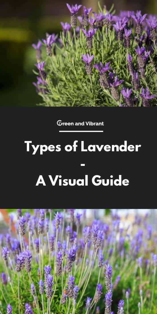 9 Types Of Lavender A Visual Guide In 2020 Lavender Plant French Lavender Plant Lavender Plant Care