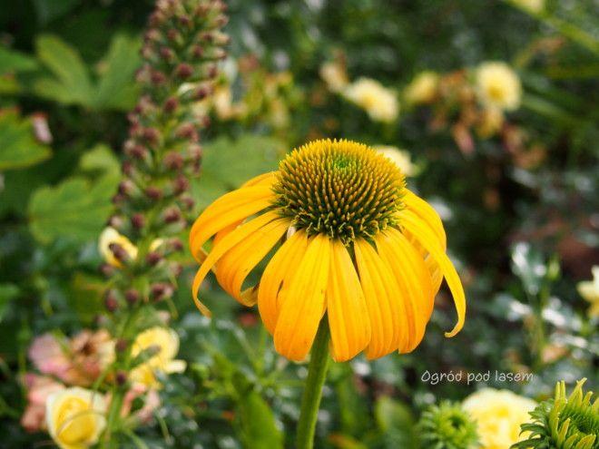 Byliny Ogrodowe Na Piekne Kwieciste Rabaty Ogrod Pod Lasem In 2020 Plants