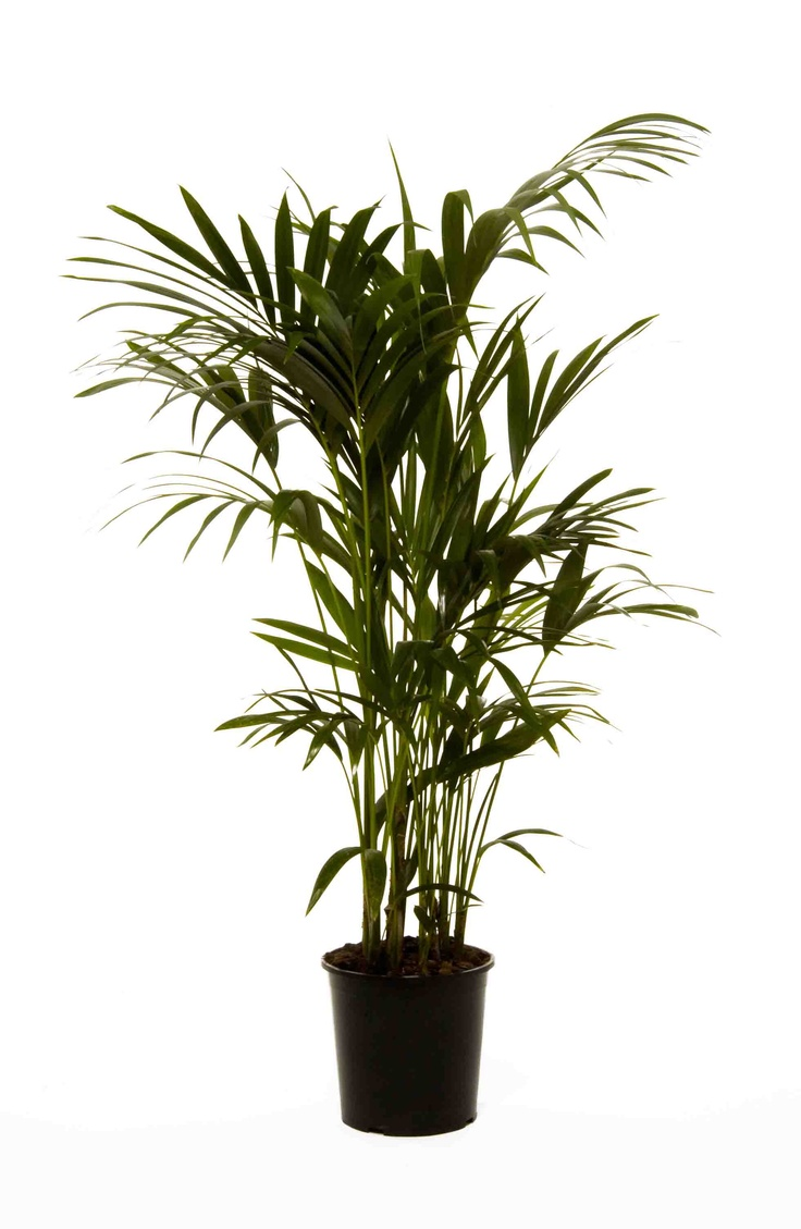 kentia palm howea forsteriana our top 10 office plants. Black Bedroom Furniture Sets. Home Design Ideas