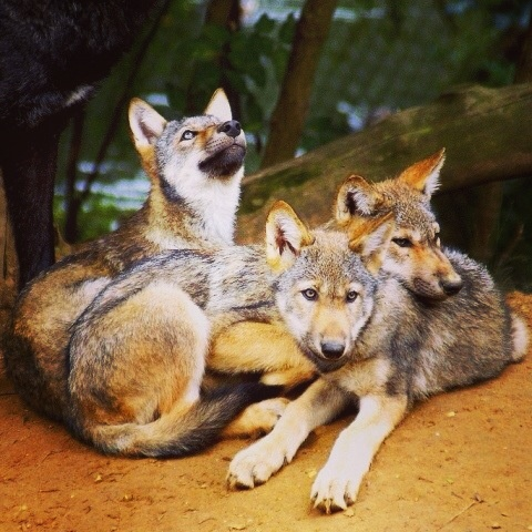 A pic of a couple of cute wolf pups.