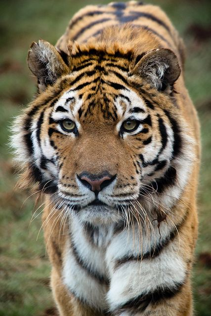 South Lakes Wild Animal Park - Sumatran Tiger by Andy McGarry Photography