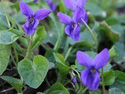 Fialka neboli violka vonná (Viola odorata)
