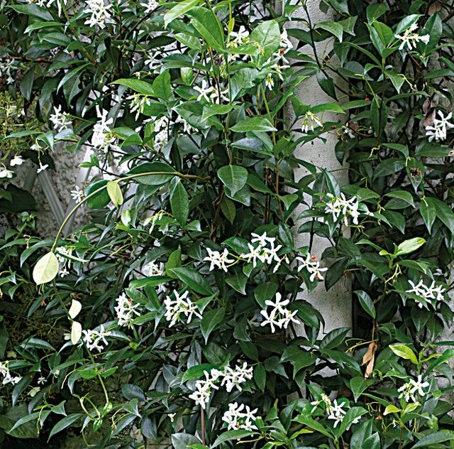 Bouturage du jasmin, lilas des Indes, oranger du Mexique et pittosporum - Bouturer le jasmin