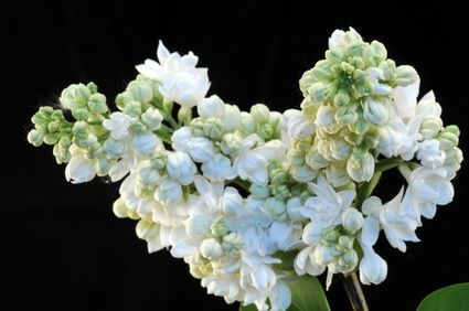 How to Prune a Japanese Lilac Tree