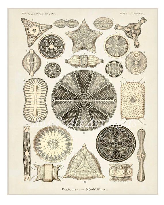 Antique Ernst Haeckel Scientific Illustration/Adaptation of Cellular Materials in Cream and Brown Circa 1862