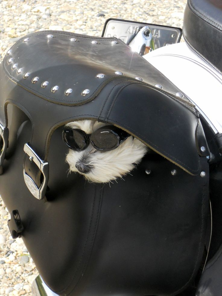 "My wife and I rode our motorcycles to Chena Hot Springs recently. When we returned home, our dog, Ceasar, was happy to see us and wanted to jump into my wife's saddlebag with his ""doggles"" in place.  —Tom Schneider, Fairbanks"