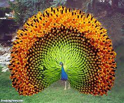 Billedresultat for peacock