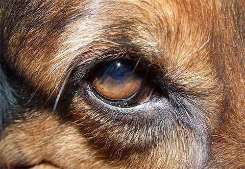 To say that dogs are susceptible to eye infections is an understatement. When they've got their entire face lodged in a hole in the ground several times a day, the possibility for a dog eye infection is about as likely…