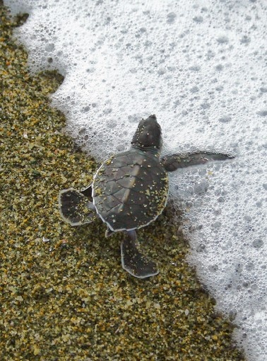 Photograph taken on February 8, 2010 shows a rare baby green turtle crawling to the sea at Sukamade beach, part of Indonesia's Meru Betiri National Park, located in Banyuwangi, in East Java. Sukamade beach is a major and natural spawning grounds for four species of sea turtles where the government is managing the conservation efforts. Park authorities noted an increase in figures as they recorded 1,349 turtles in 2008. Illegal trade of turtle eggs and and meat threatens the population of sea…