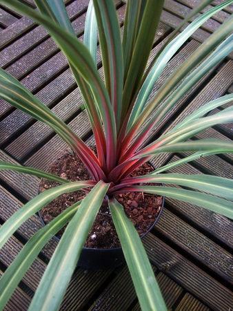 Cordyline australis 'Sunset' http://www.facebook.com/pages/Le-Jardin-de-Monsieur-Semper/236141563196029