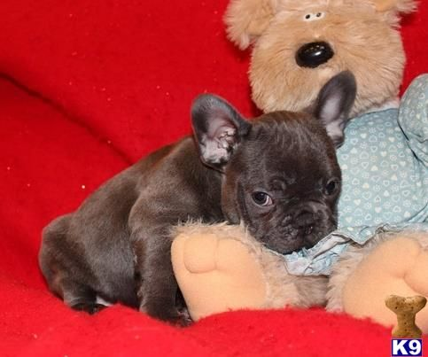French Bulldog Puppy For Sale In Los Angeles For 700 That Was