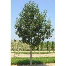 Acer Campestre Elsrijk (Veldesdoorn)
