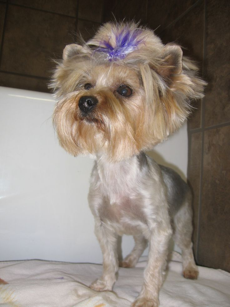 58 best images about SHIH TZU HAIRCUTS on Pinterest