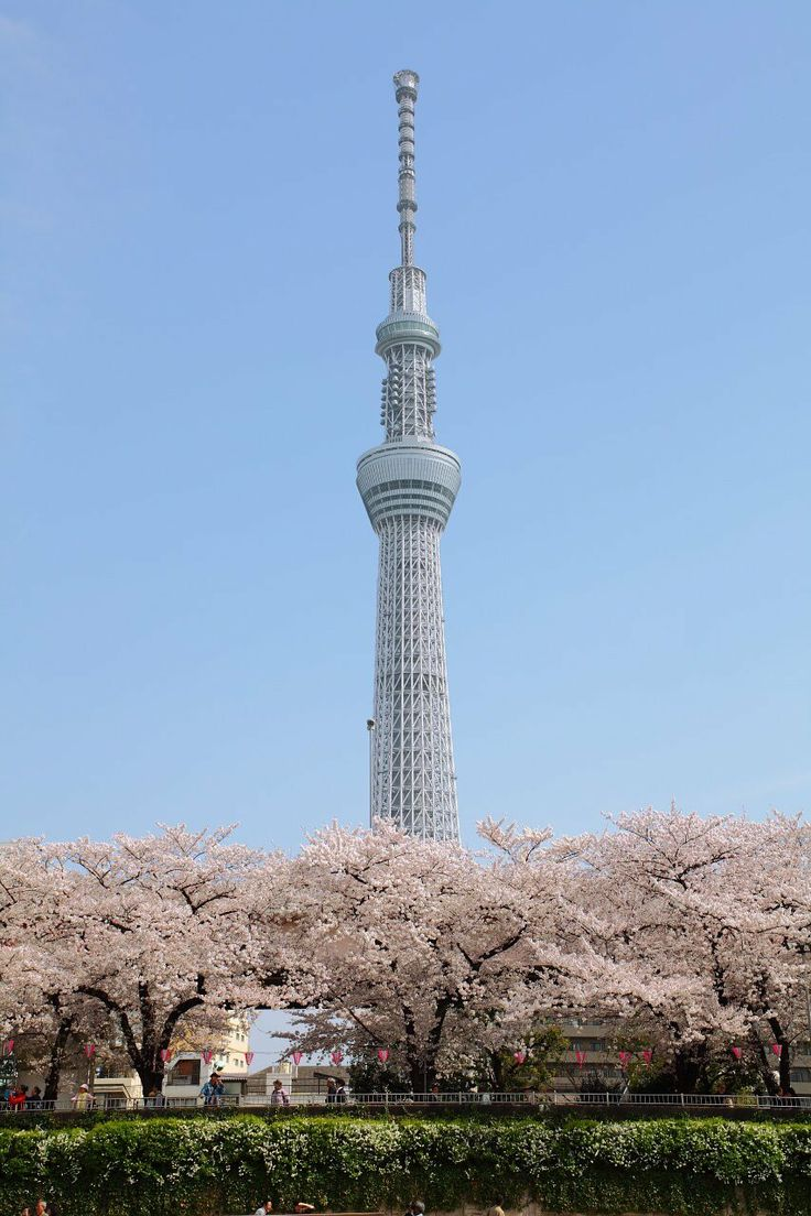 Vernal Equinox Day. Sumida Park Cherry Blossom and Tokyo Skytree / 春分の日 東京スカイツリーと桜