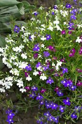 Lobelia Colour Casade mixed - sow Late Spring & Early Summer - Annual. Hanging 20cm. Shade/sun.