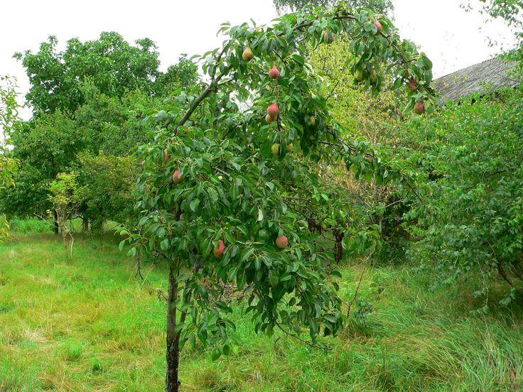 Ideal Der Garten im August Neben der Birnenernte gibt es noch jede Menge zu tun im