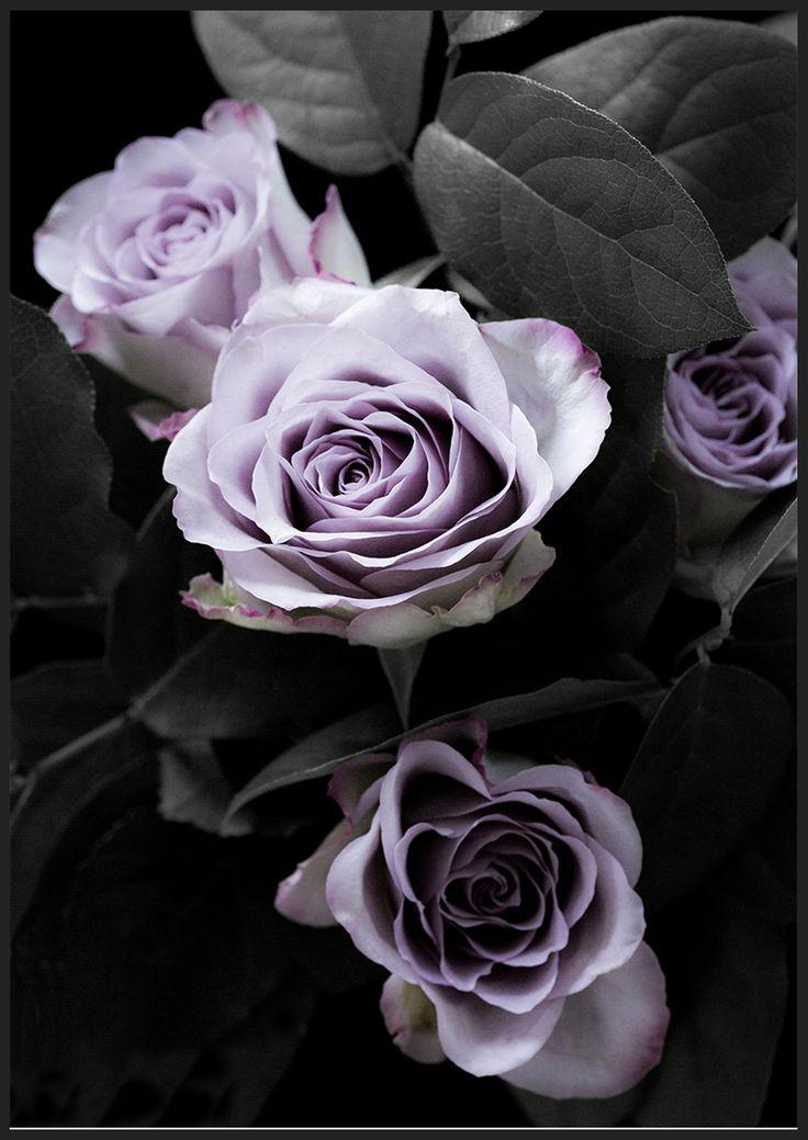 Classic Purple Roses 2, från Insplendor tryckta med Giclée Fine Art Print-teknik