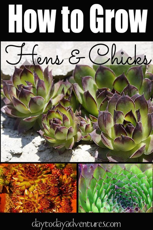 Growing Hens and Chicks - DaytoDayAdventure...