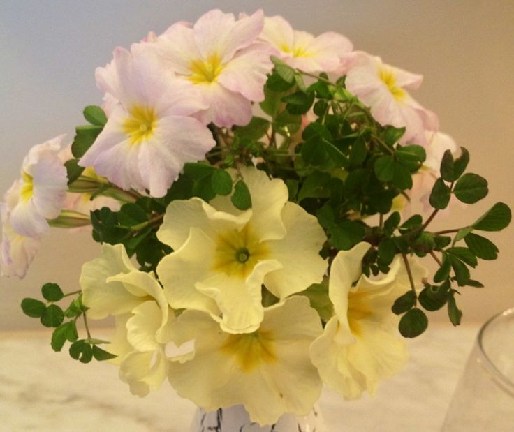 Irish Primrose Moneygall and Carrigdale with a sprinkling of Shamrock