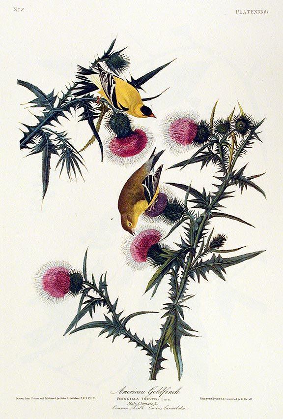 """American Goldfinch"" John James Audubon  Amsterdam Edition"
