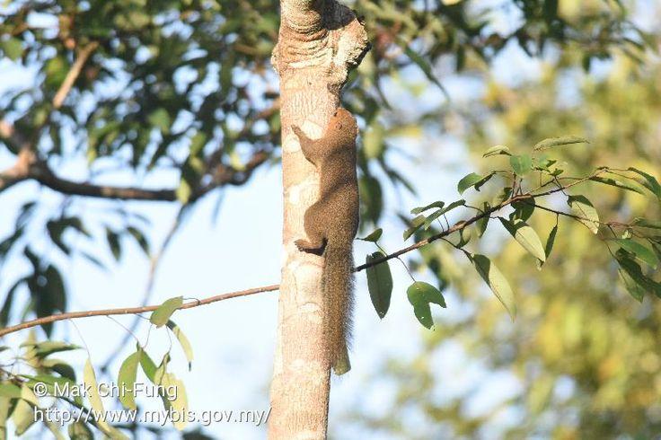 Callosciurus nigrovittatus in Panti FR, Kota Tinggi, Johor. Photo by Mak Chi-Fung.