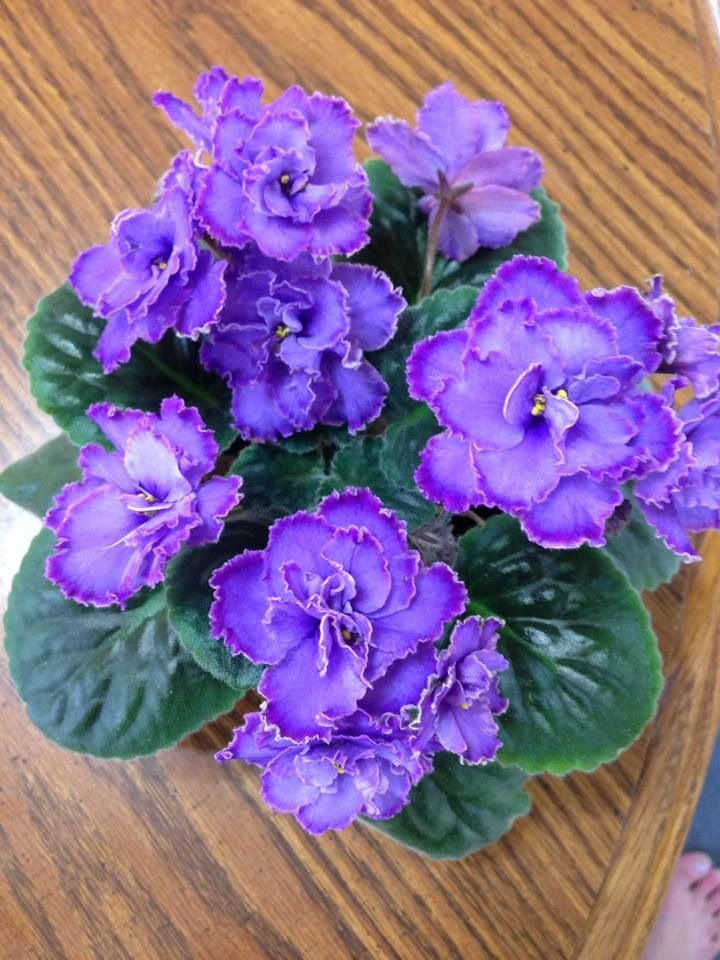 African Violets Double Blue                                                                                                                                                      More