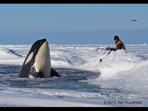 Dramatic raw footage of NOAA researchers tagging orcas with cross bows (...