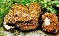 Bylinky: Pórnatka kokosová - mimořádná tropická houba