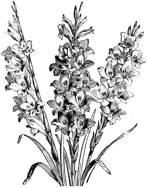 50 best Flowers drawing of gladioli