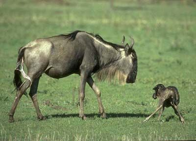 blue wildebeest | Blue Wildebeest | African Animals | Brindled Gnu | Wildlife Safari ...