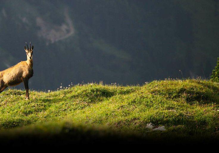 I caprioli sono incontri frequenti nell'Altopiano. #asiago #capriolo #trekking #roedeer