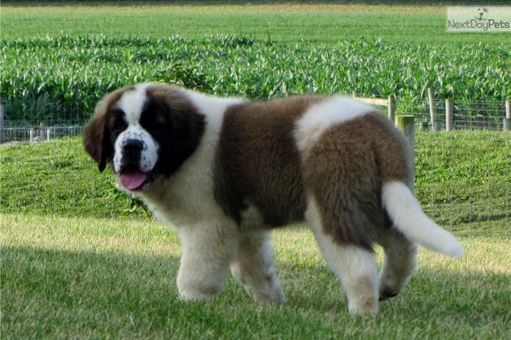 Meet Keri a cute Saint Bernard - St. Bernard puppy for sale for $695. Simply Stunning Saints of MistyRun