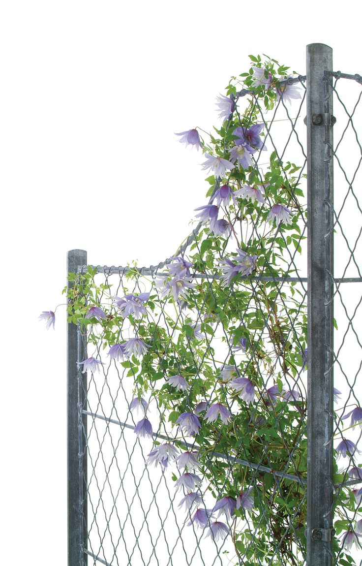 34 best garden trellis lattice fencing images on pinterest curved design trellis panels and post with climbing clematis the perfect display for climbing plants baanklon Gallery