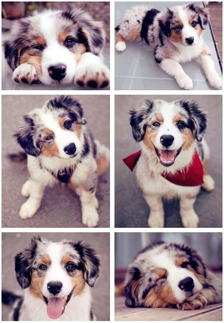 Beautiful Australian Shepherds! OMG! I want this type of dog/puppy SO bad! She/he is so adorable and cute. I want to hide this puppy in my backpack and take it home with me! :)