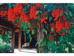 A trepadeira Jade-vermelha é uma das mais bonitas, uma planta tropical de florescimento espetacular, seus pendentes pode alcançar até um metros.