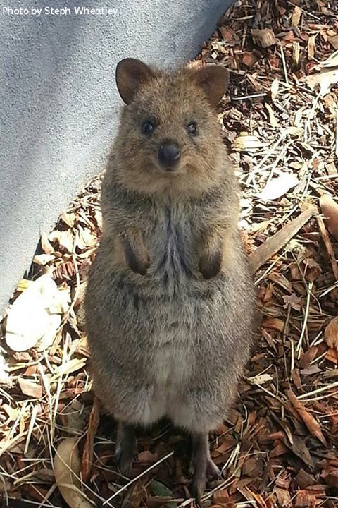 The Quokka - never heard of this!!!