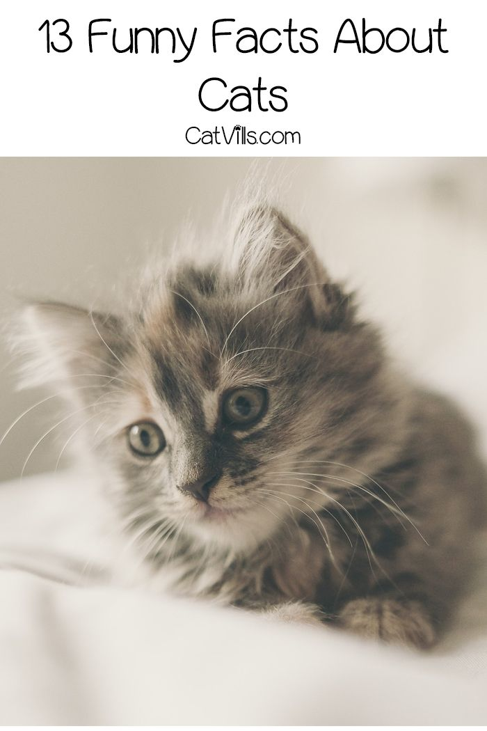 13 Funny Facts About Cats Cat Facts Cats Kittens Cutest