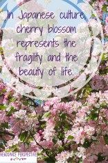 In Japanese culture cherry blossom represents the fragility and the beauty of life