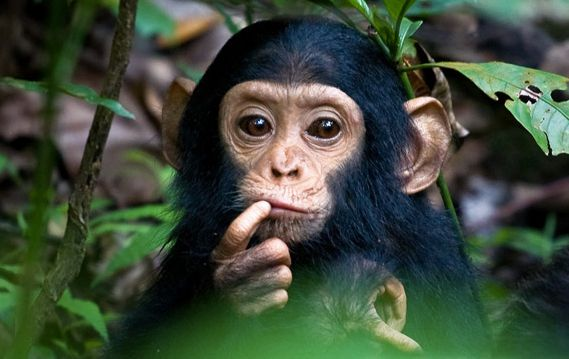 Just a portrait of a cute Baby Chimpanzee! | Monkeys Lover ...
