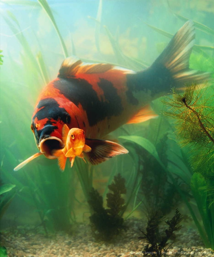 17 best images about goldfish and koi on pinterest for Koi und goldfisch