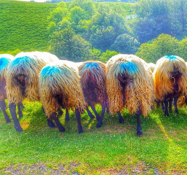 Quand on vous tourne le dos ..... 🐑🐑🐑 #brebis #manex #burubeltz #ardia #sheep #tetenoire #montagnebasque #montagne #PaysBasque #basque #euskalherria #igerseuskadi #basquecountry #randonnée #rando #instarando #animal #animallovers #instanimal