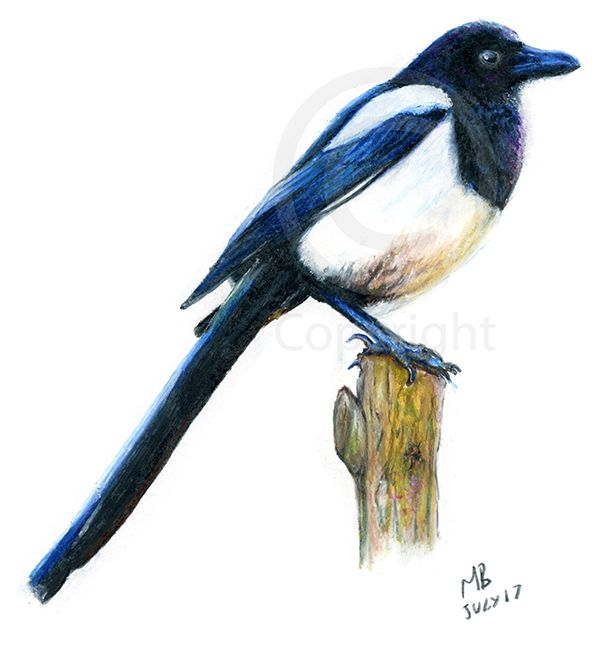 Magpie wild British garden bird, watercolour pencil drawing - A watercolour pencil drawing of a magpie wild garden bird. This drawing was created on watercolour paper using Derwent watercolour pencils.