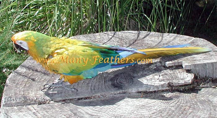 Best 2Nd Generation Camelot 3Rd Generation Hybrid Macaw Her 400 x 300