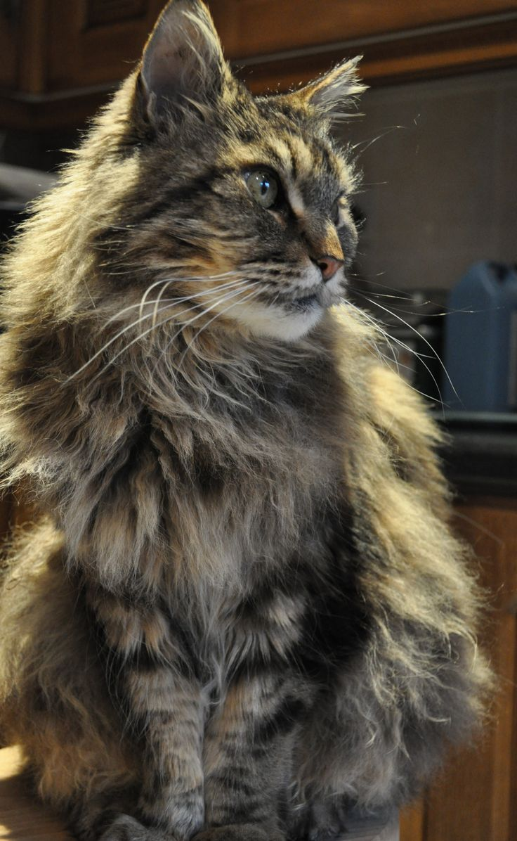 Monty Maine Coon tom cat stolen by neighbour. Recovered with assistance of police