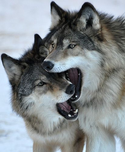 Wolf Brothers, like every brothers always fight each other but will always have each other's backs in danger