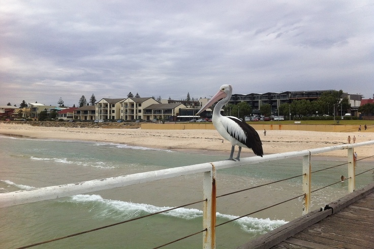 Adelaide beach • pelican on the jetty • Adelaide's beaches • best of Adelaide • sights • top spots • South Australia • riawati