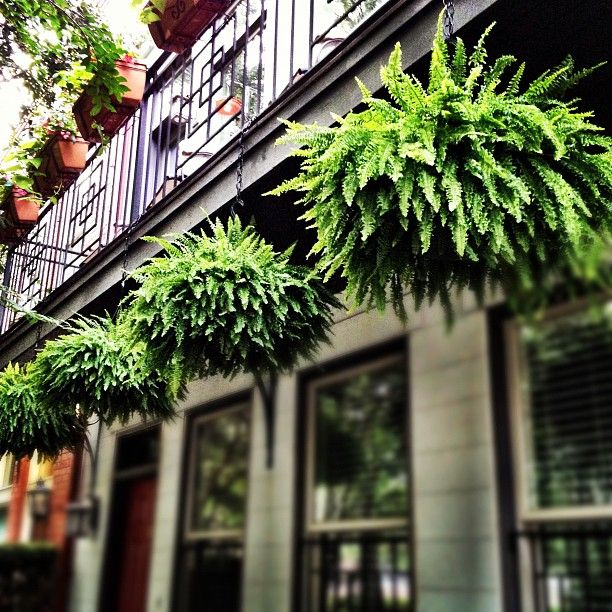 Lovely ferns hanging above Oglethorpe Street in Savannah…But i would hang these from big tree branches :)