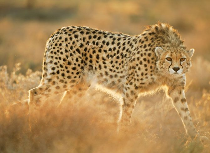 This week, National Geographic magazine published extraordinary new images of wild Asiatic cheetahs in Iran. That National Geographic was able to photograph these rarest of cheetahs is testament to...